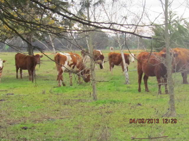 arriendo-campo-70-has-chillan-huape-ganaderia---agricultura-463